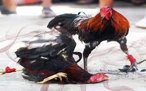 Judi Sabun Ayam Online