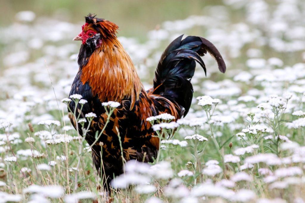 Tips Judi Sabung Ayam